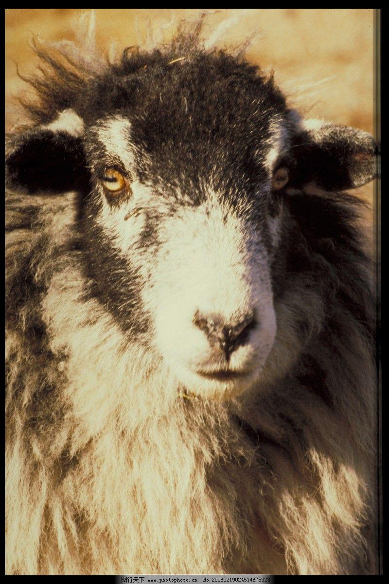 牛羊骆驼0061,动物-图行天下图库