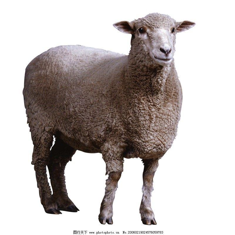 牛羊动物走路逐帧动画