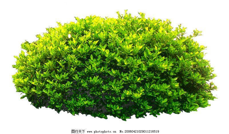 灌木 绿化苗木 苗 苗木 树 植物 800_469