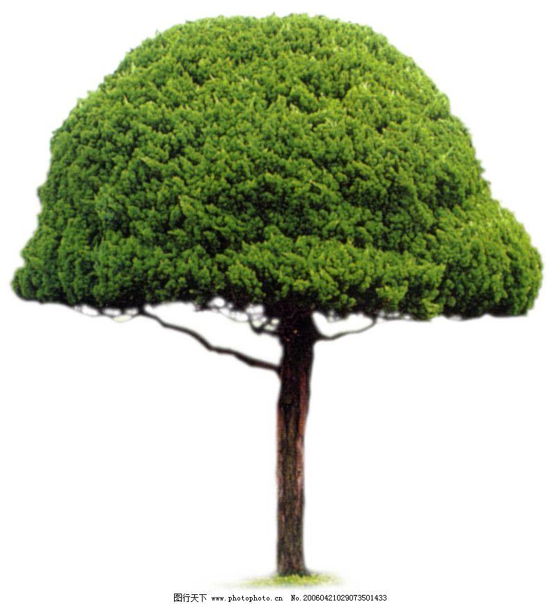 松柏树图片大全图片